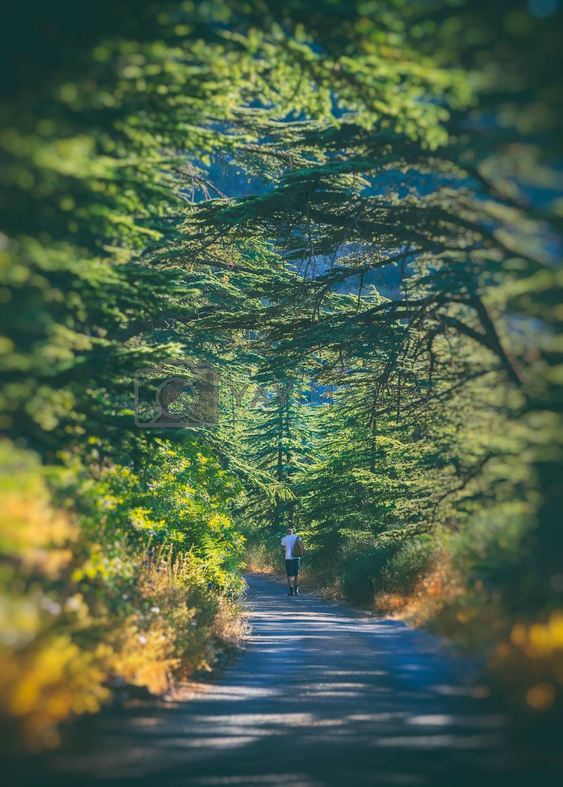 Happy Summer Adventure. Guy Walking Along the Trail with Trees. Enjoying Hiking to Chouf Cedars Reserve. Lebanon