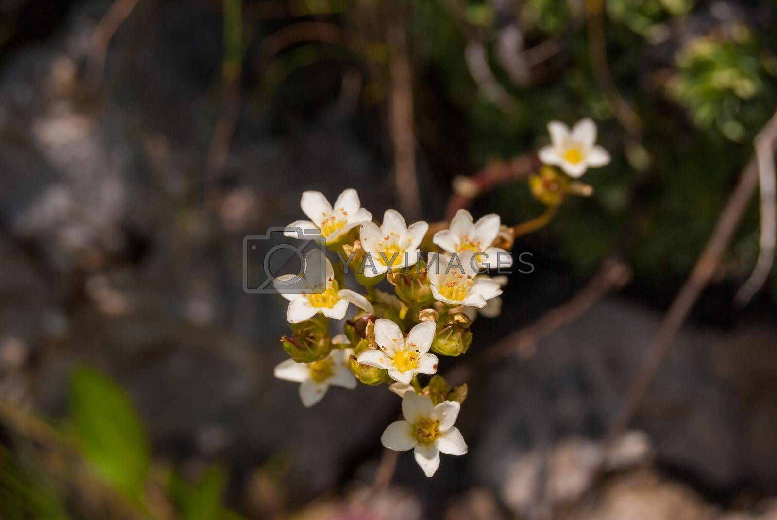 Saxifrage paniculate flowers grow on an Alpine meadow.