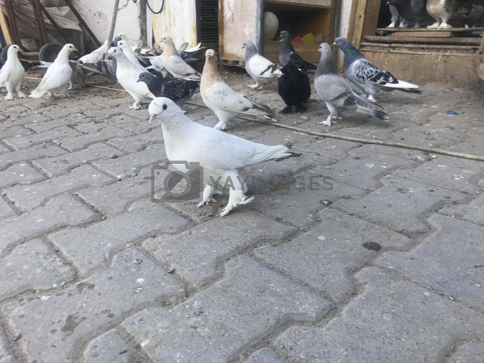 It depicts a lot of pigeons walking around and eating
