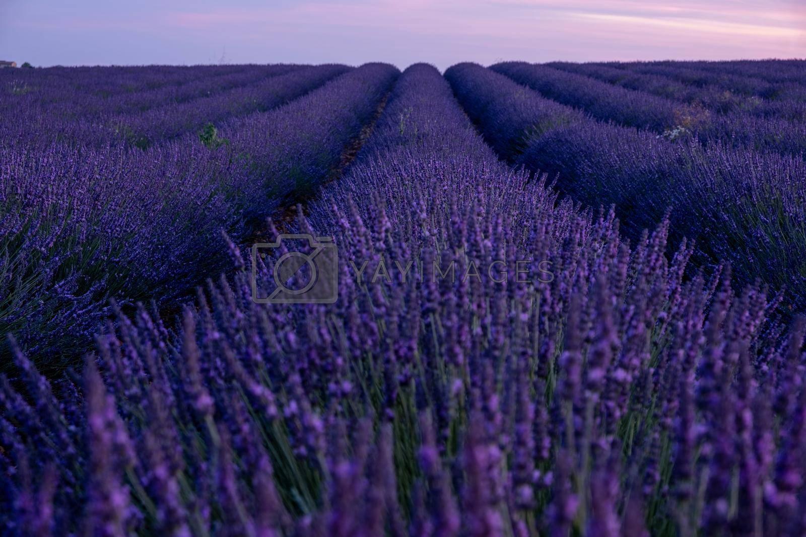 Provence, Lavender field France, Valensole Plateau, colorful field of Lavender Valensole Plateau, Provence, Southern France. Lavender field. Europe