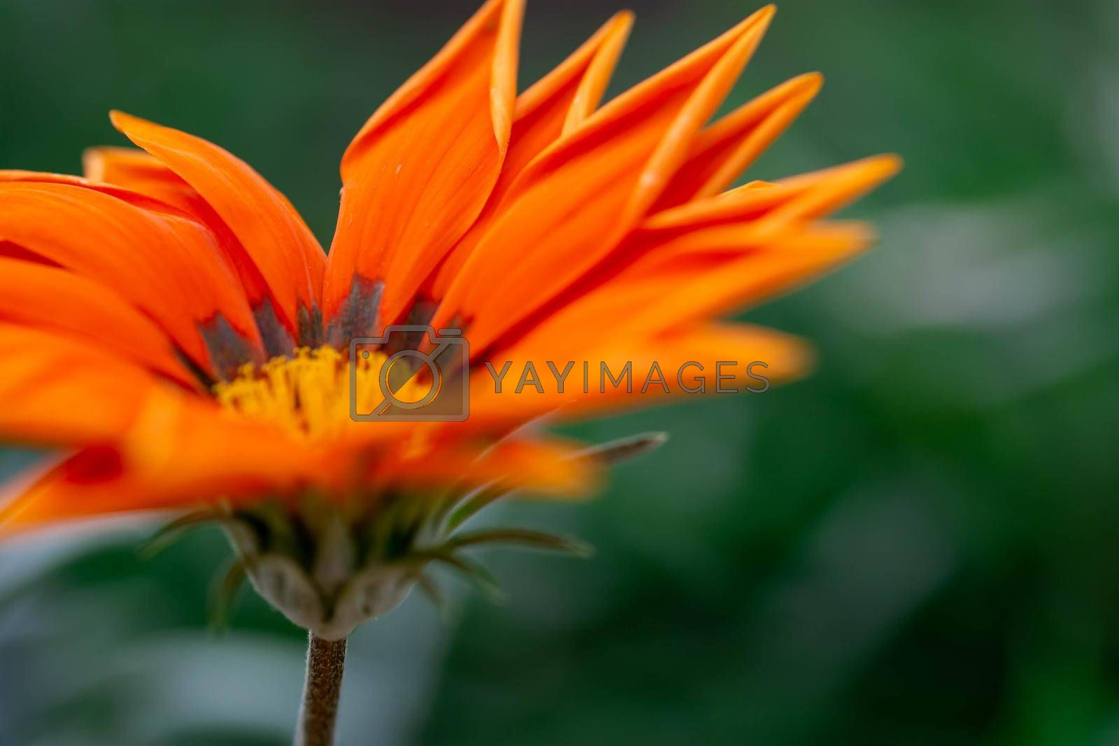 Macro shot of orange flower with blurry green background in a flower garden in Singapore
