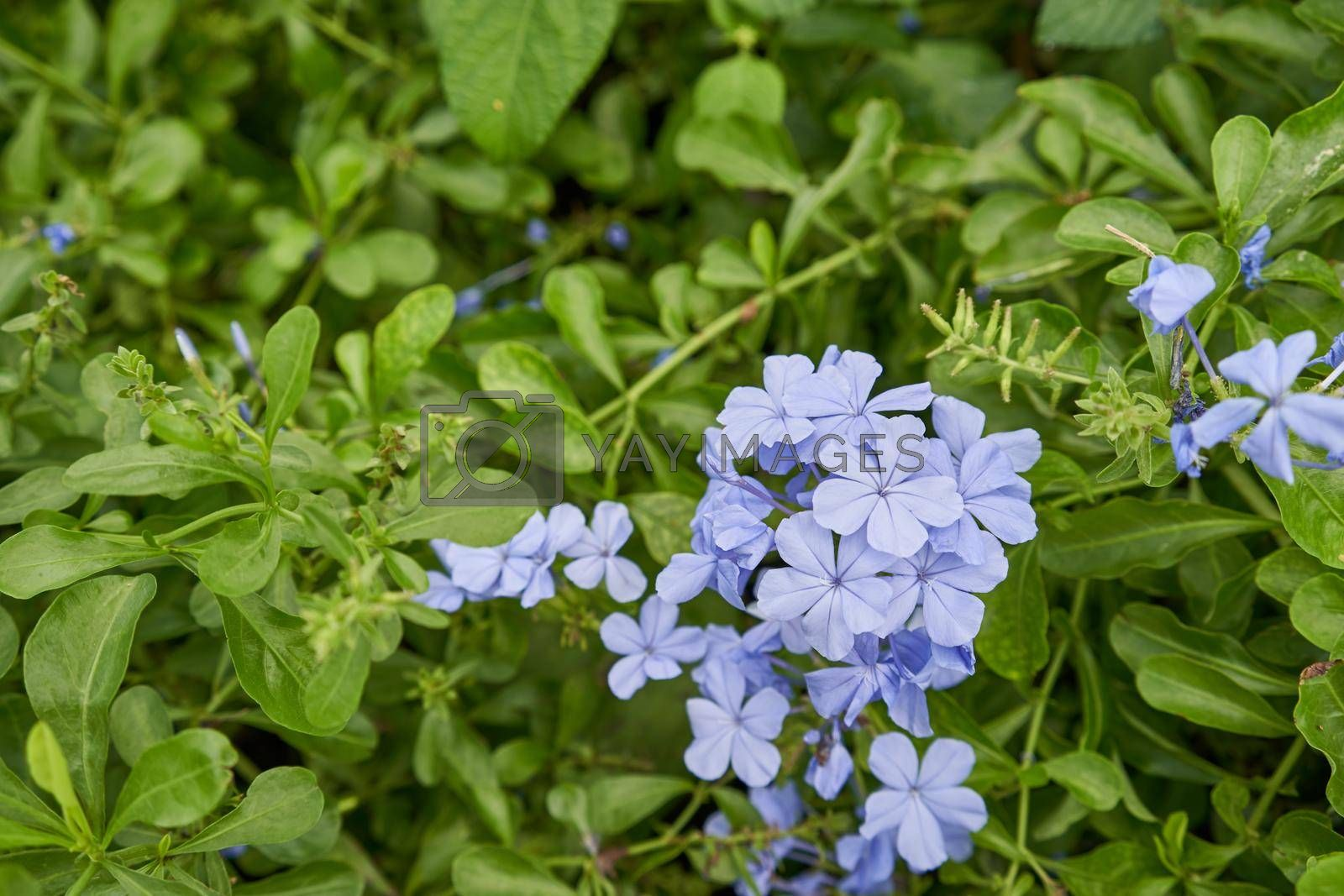 Royalty free image of Plumbago auriculata flowering plant in family Plumbaginaceae at outdoor garden by eaglesky