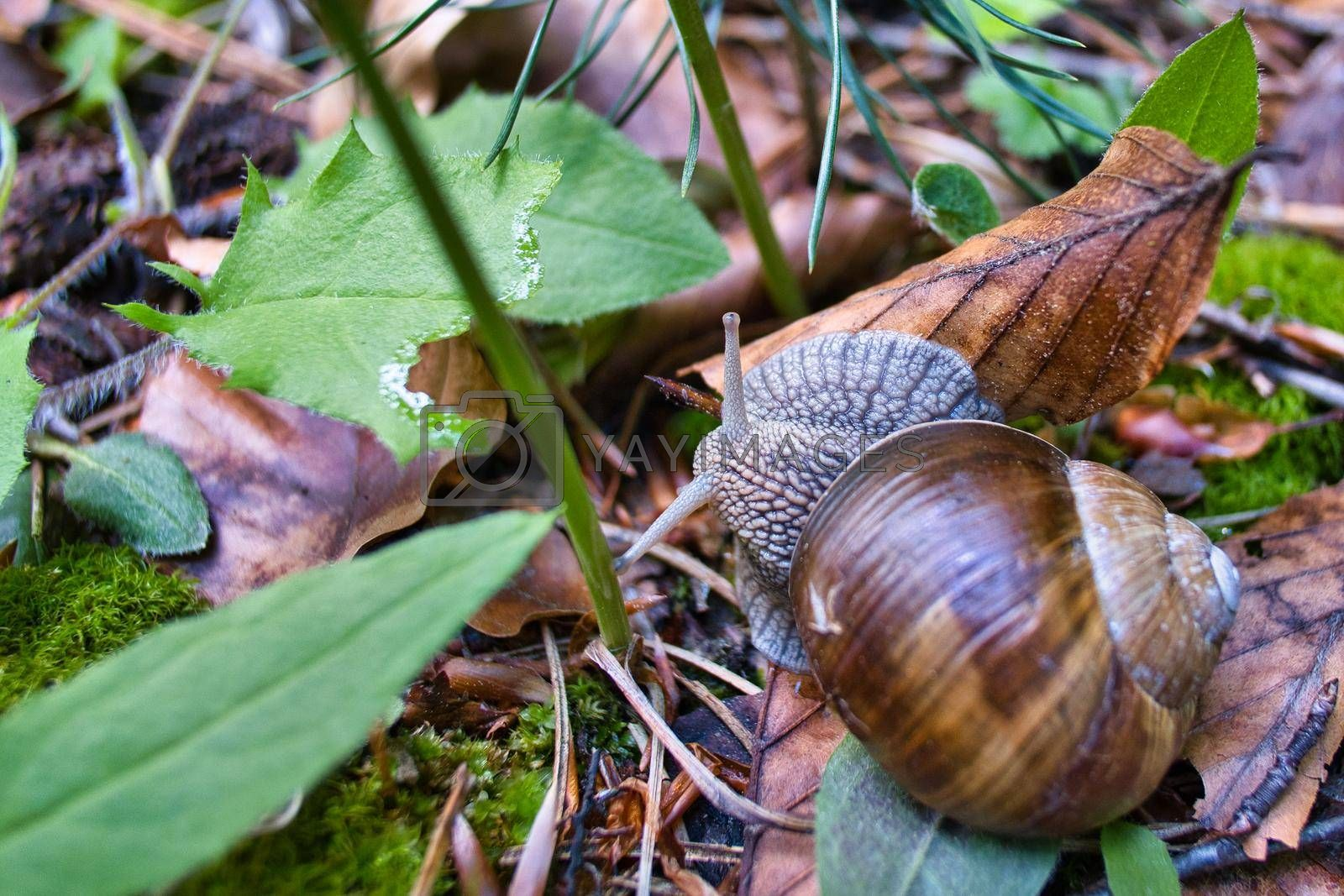 Burgundy roman snail in the forest