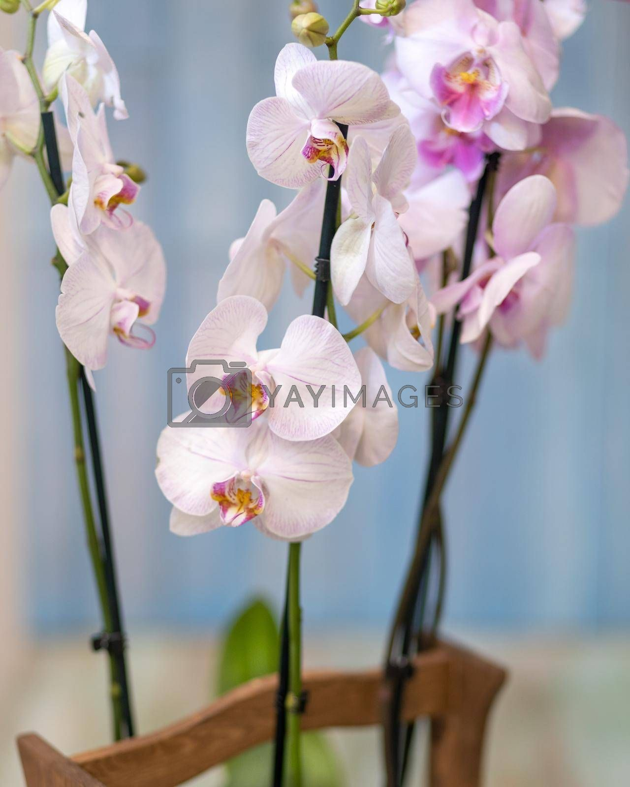 Phalaenopsist moth orchid close up