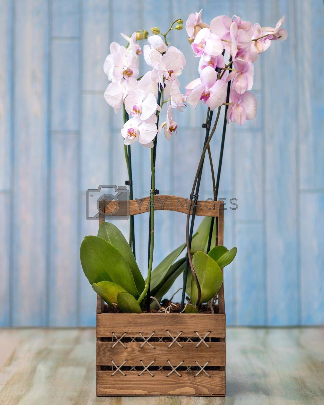 Phalaenopsist moth orchid in the wooden box