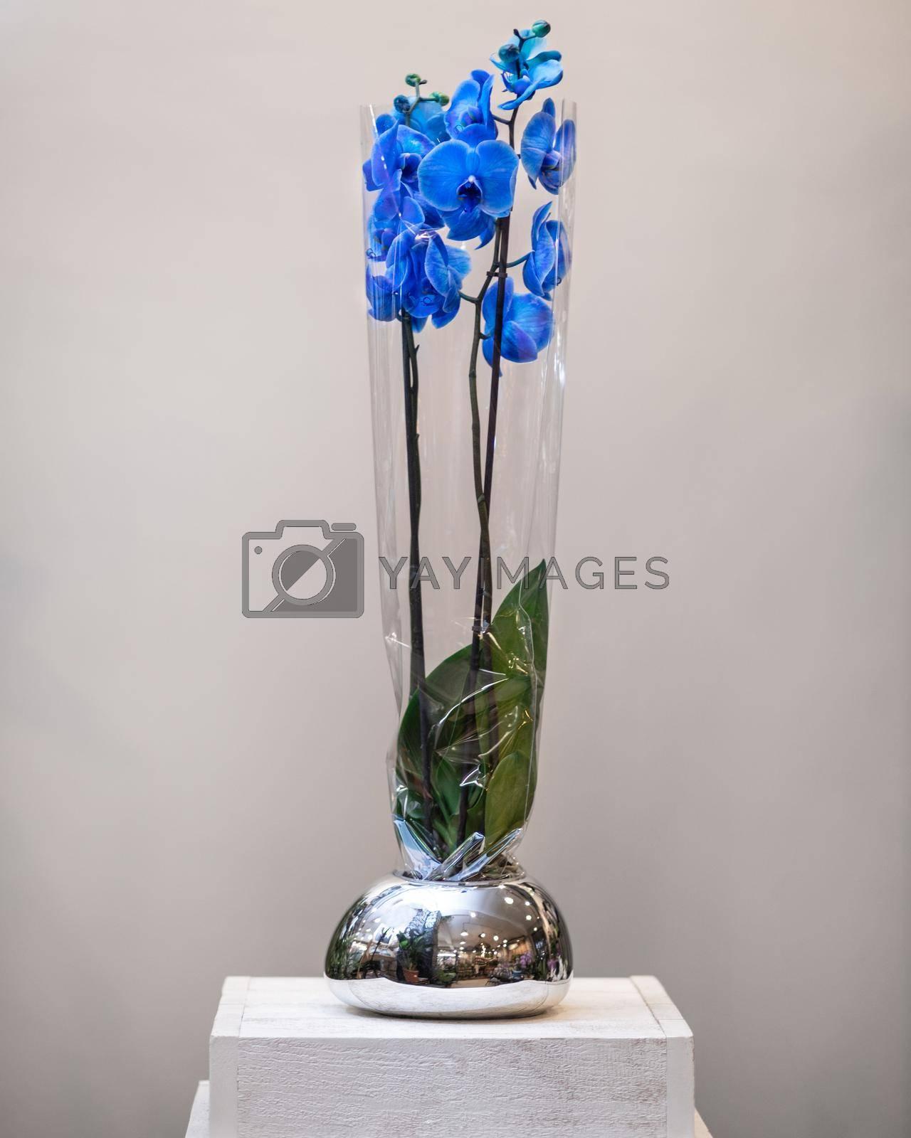 Painted blue Phalaenopsist moth orchid