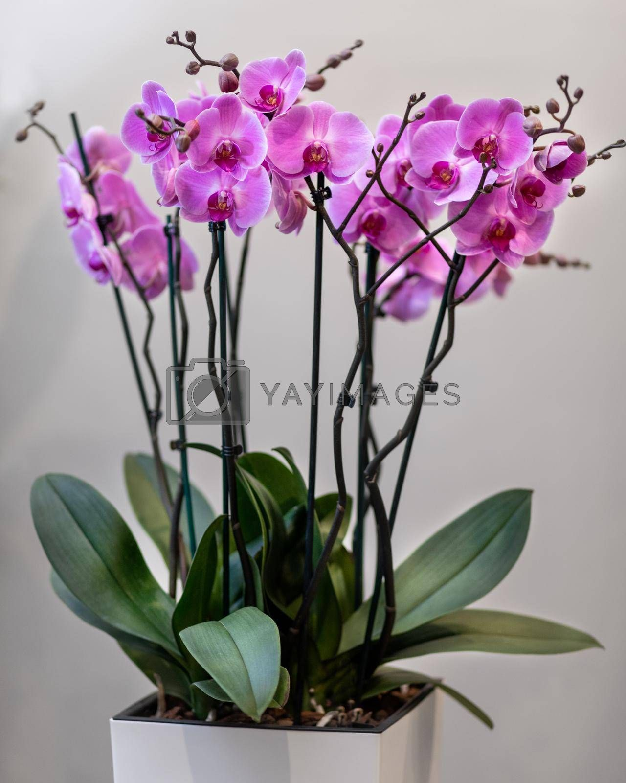 Pink Phalaenopsist moth orchid close up