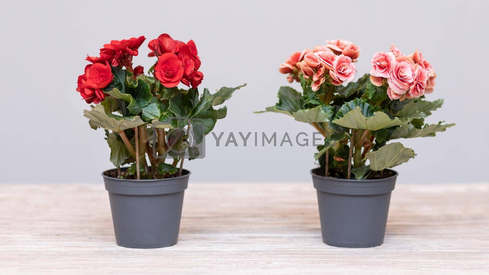 Red and Pink Elatior Begonia in the pot