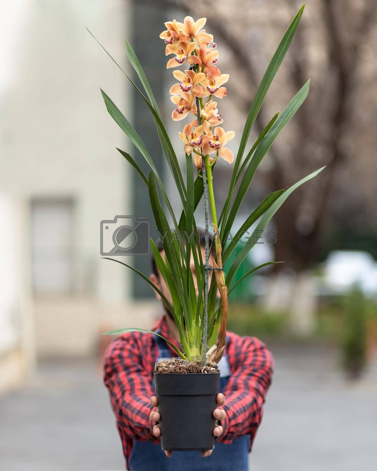 Man holding boat orchid, cymbidium in the pot