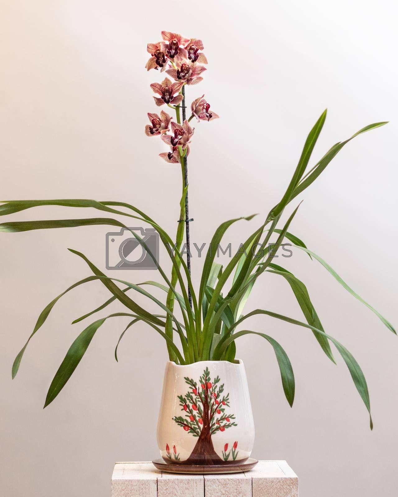 Boat orchid, cymbidium in the pot