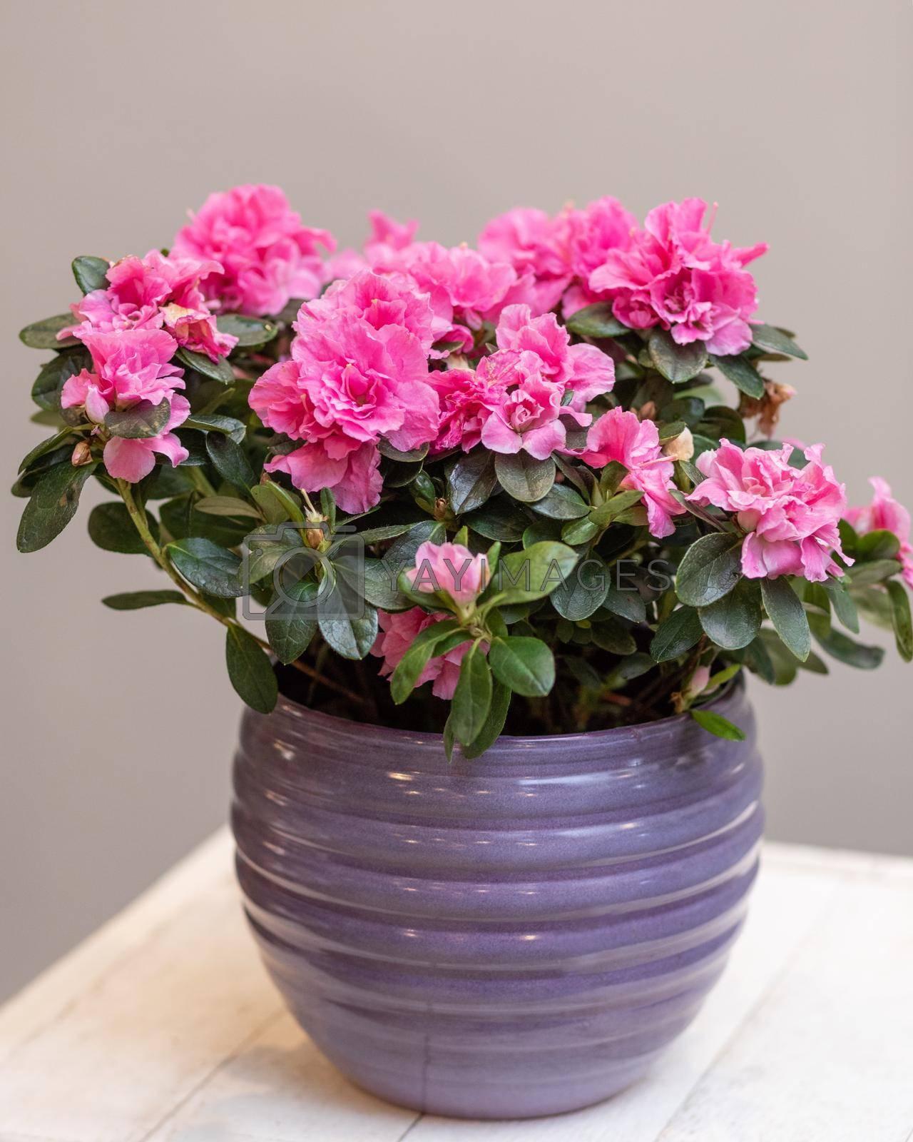 Purple Azalea Topiary flower plant