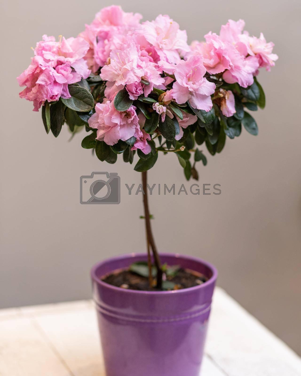 Purple Azalea Topiary cutout flower plant