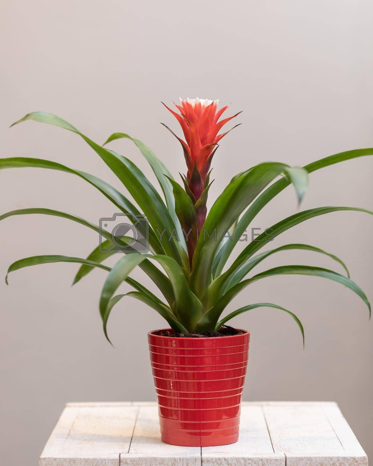 Bromeliaceae flower plant in the red pot