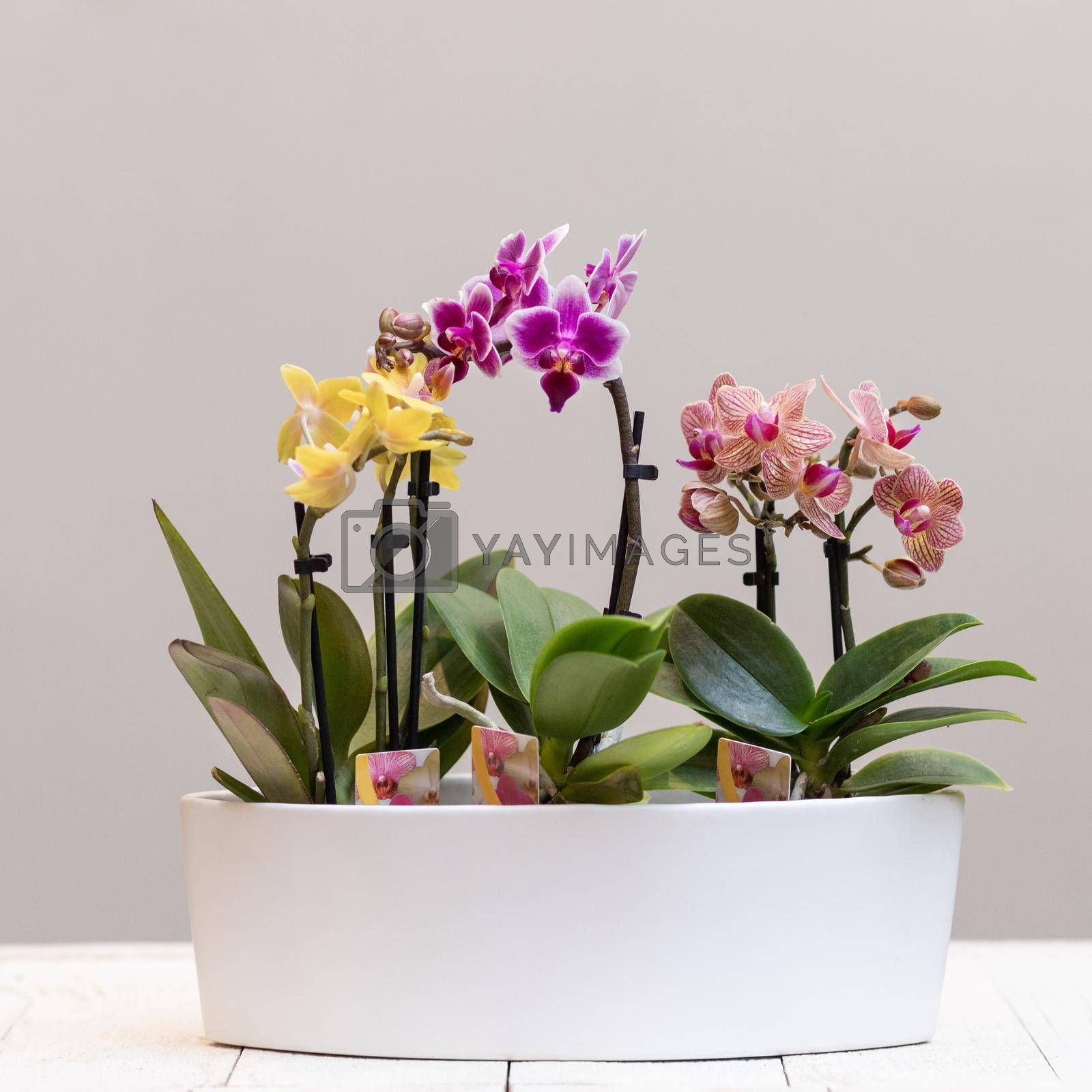 Boat orchid, cymbidium in the white pot