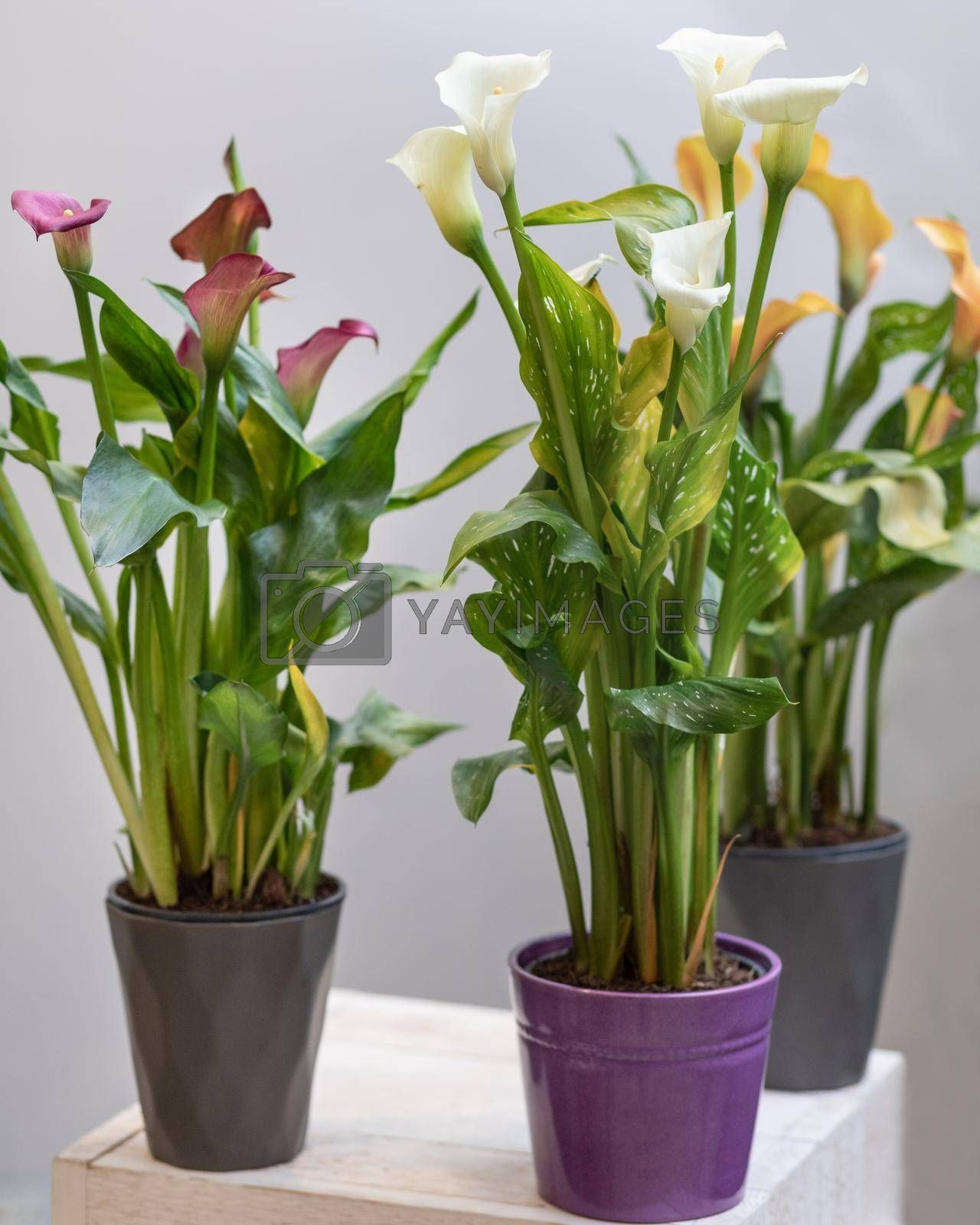 Colorful Arum lily flower plants