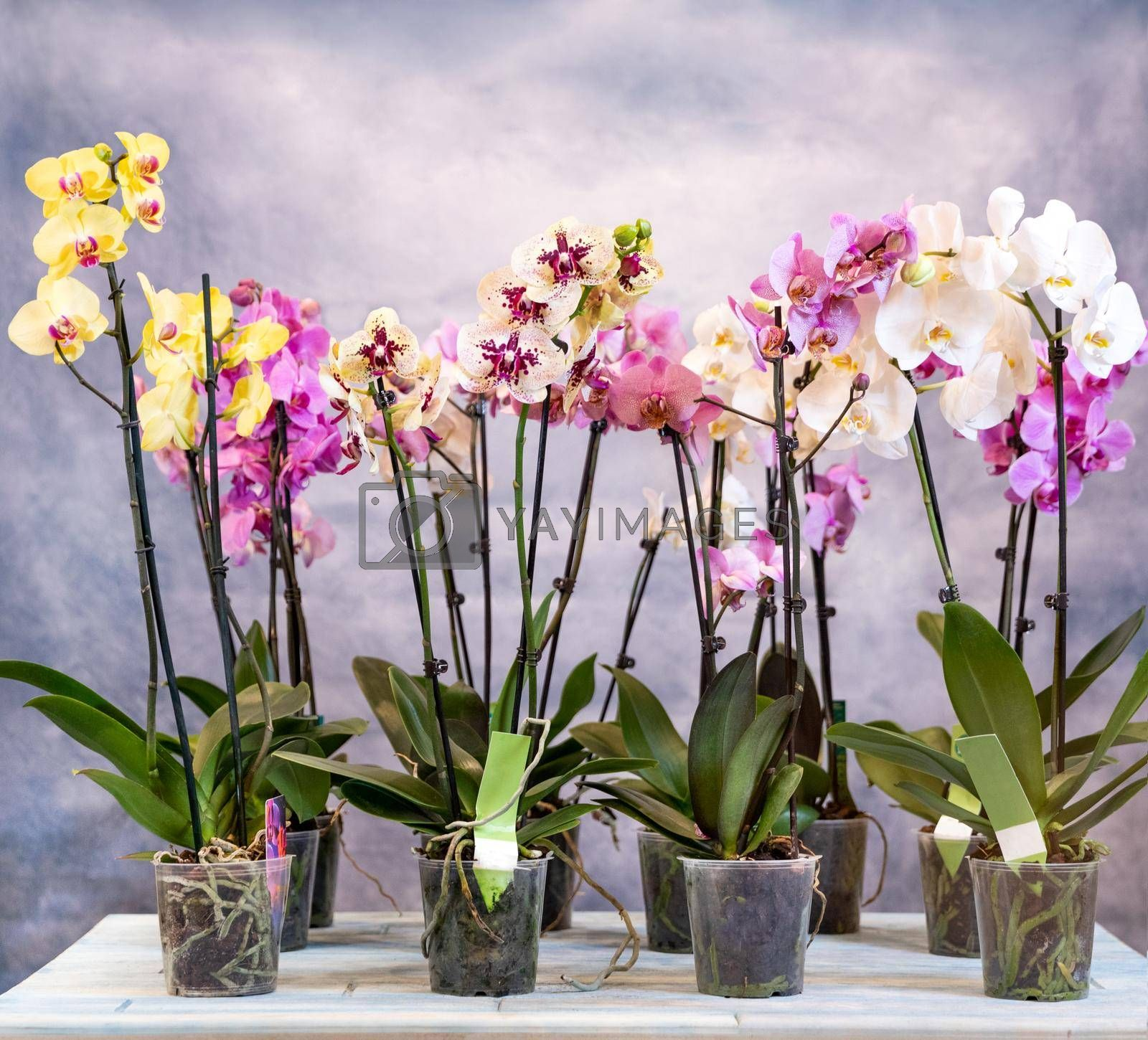 Moth orchid, phalaenopsis flowers on the blue background