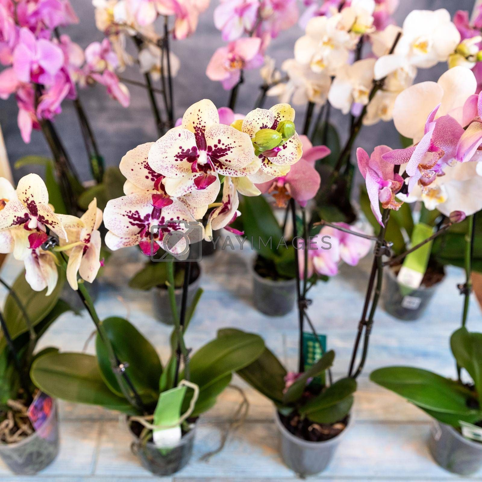 Moth orchid, phalaenopsis flowers close up