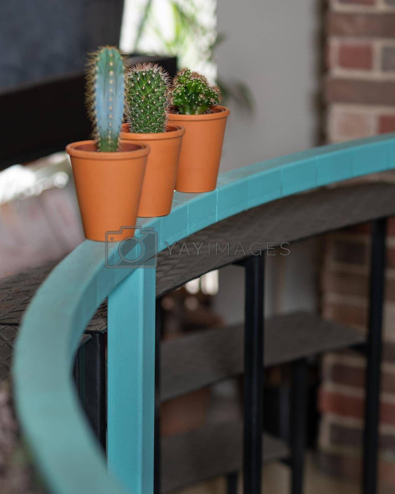 Small cactuses side by side