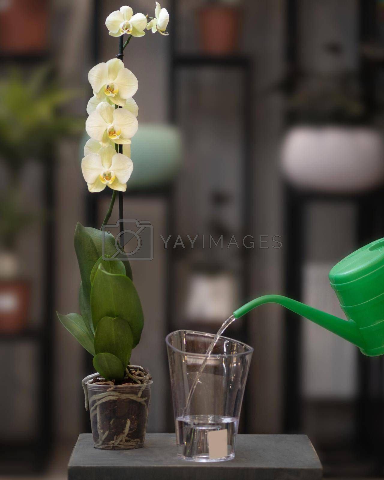 Yellow Phalaenopsis, Moth orchid flowers in the pot with green watering can