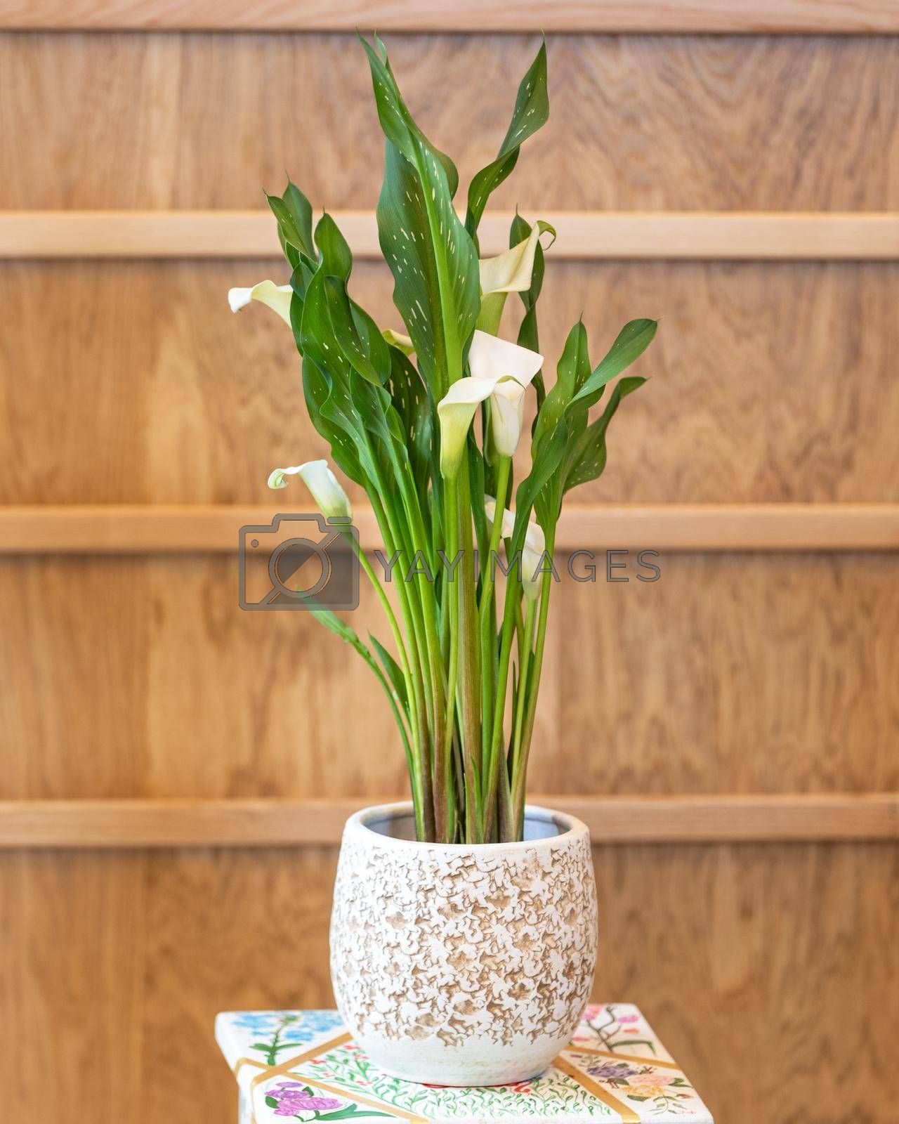 Arum lily in the white pot