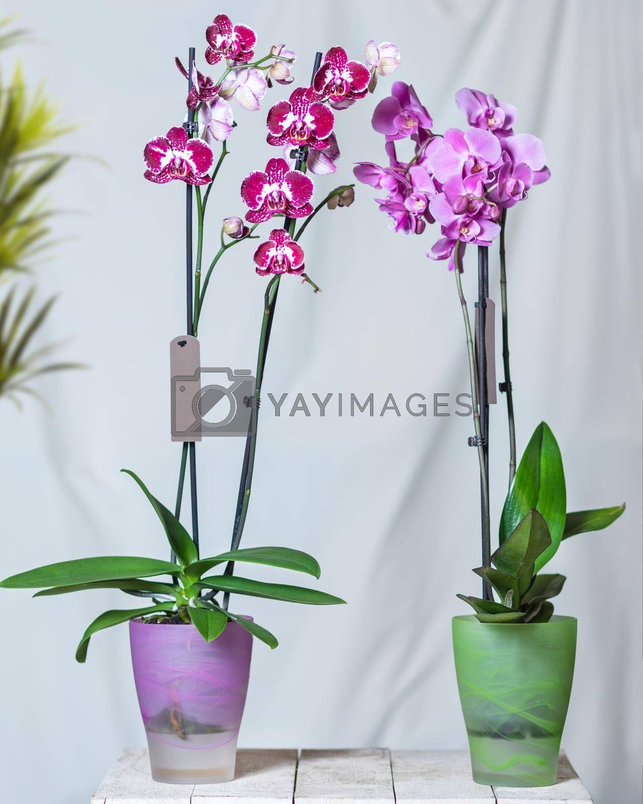 Purple moth orchid flower, phalaenopsis plant white background