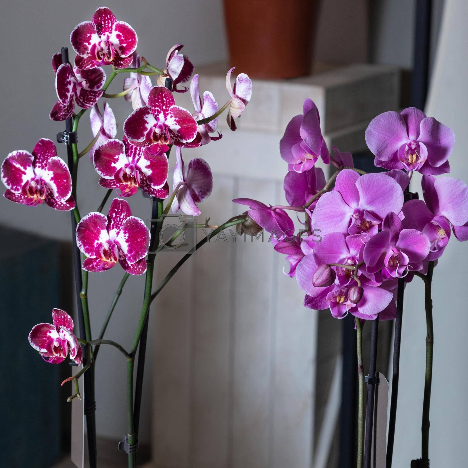 Purple moth orchid flower, phalaenopsis plant close up
