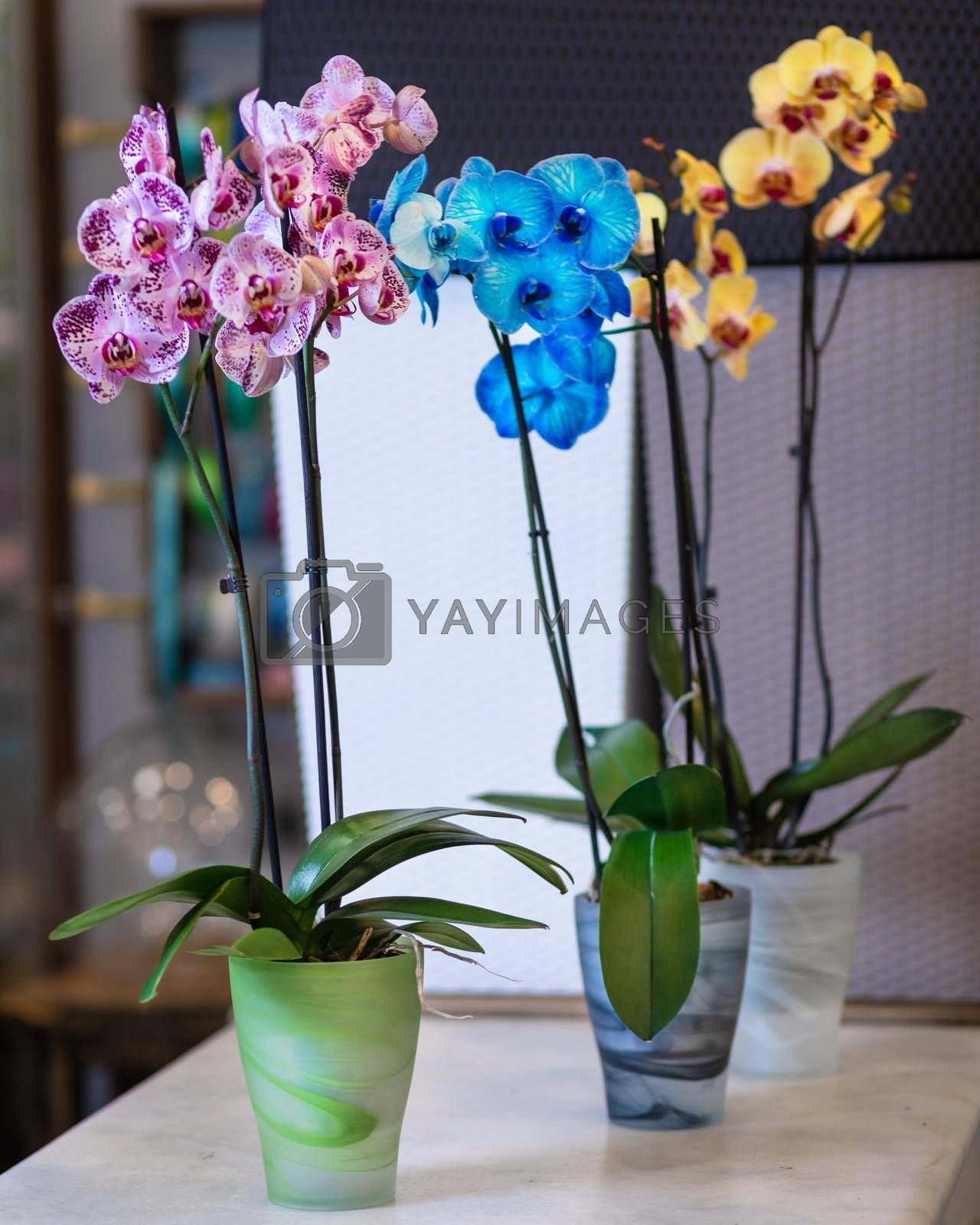 Colorful Moth orchids, Phalaenopsis in the pot, painted orchid
