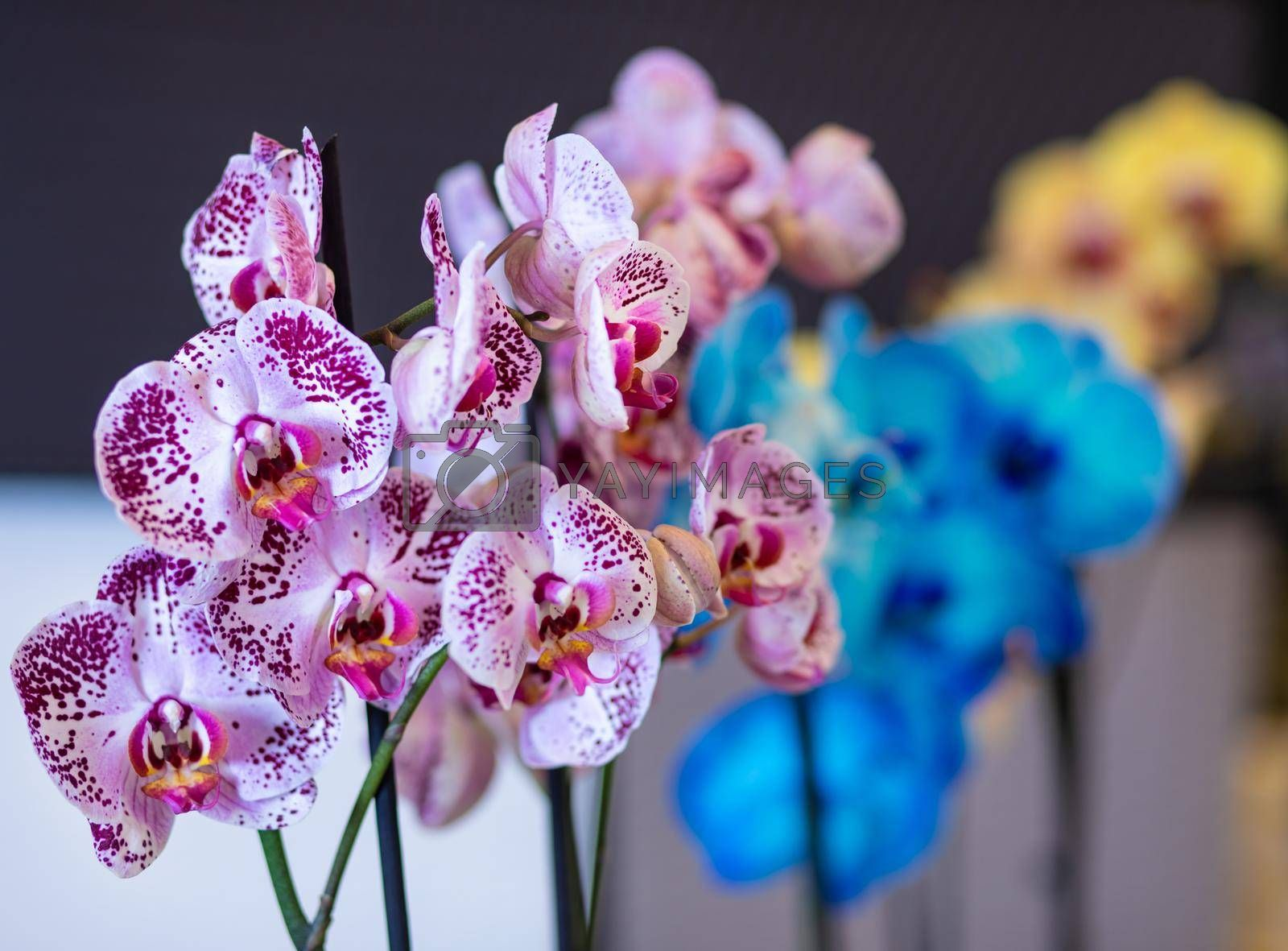 Colorful Moth orchids, Phalaenopsis in the pot, painted orchid close up