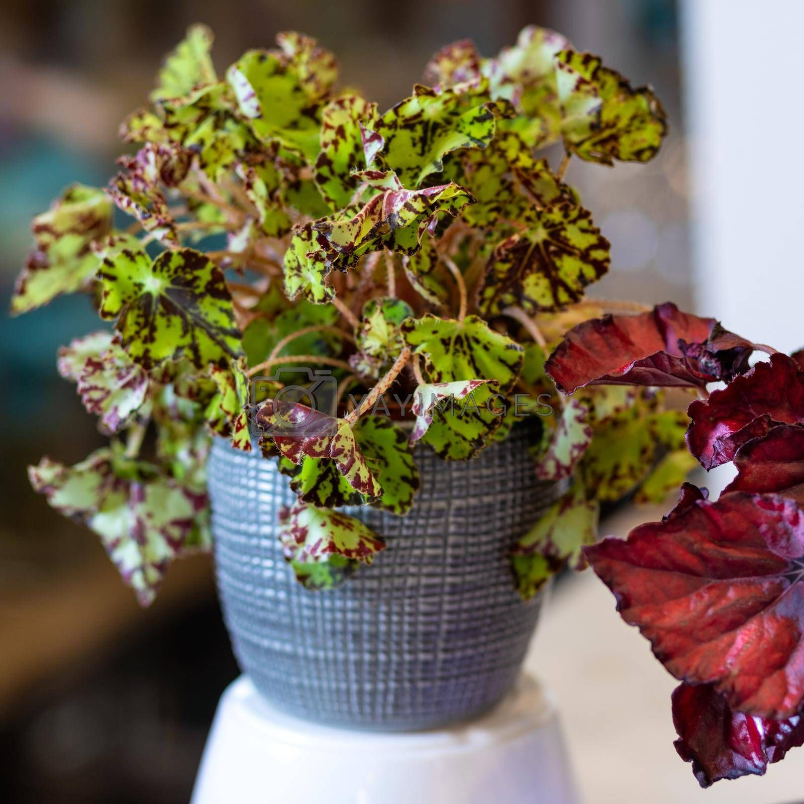 Painted-leaf begonia, Begonia rex in the silver pot