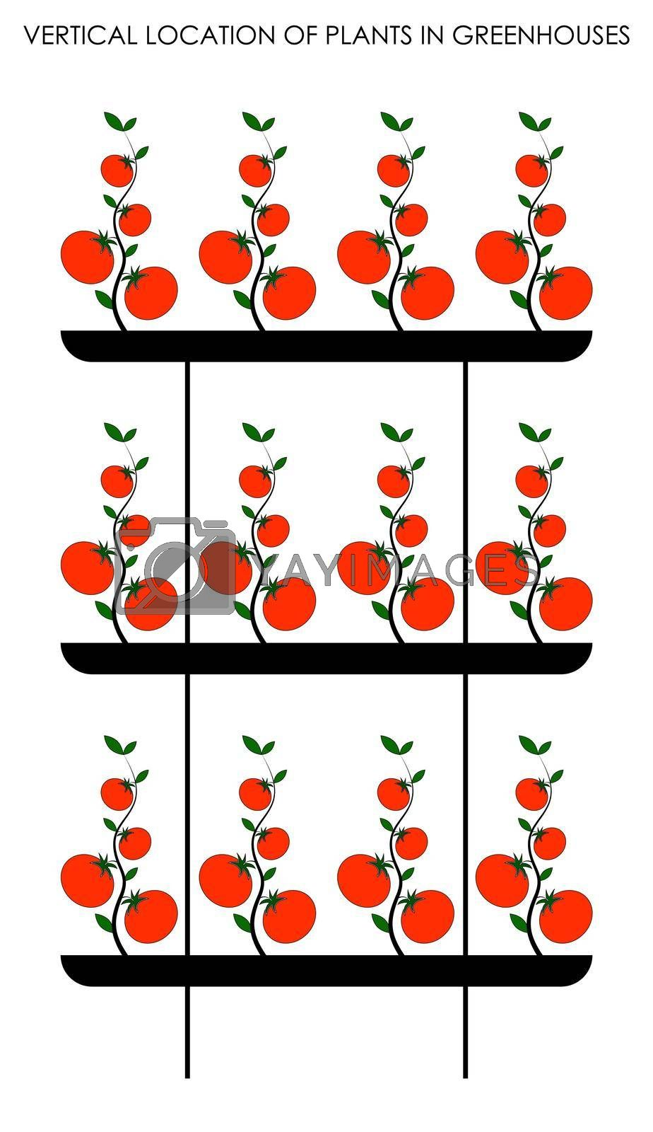 vertical decomposition of plants in greenhouses, growing tomatoes vertically. Colored isolated vector