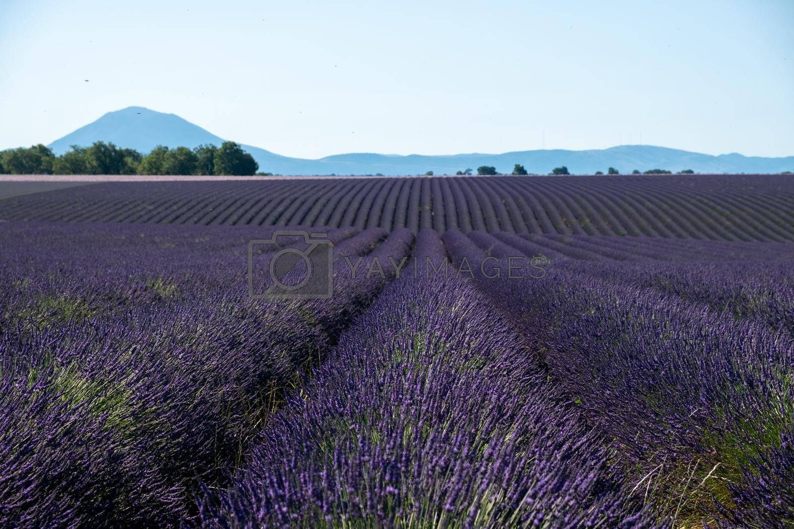 Valensole Plateau, Provence, Southern France. Lavender field at sunset. Provence