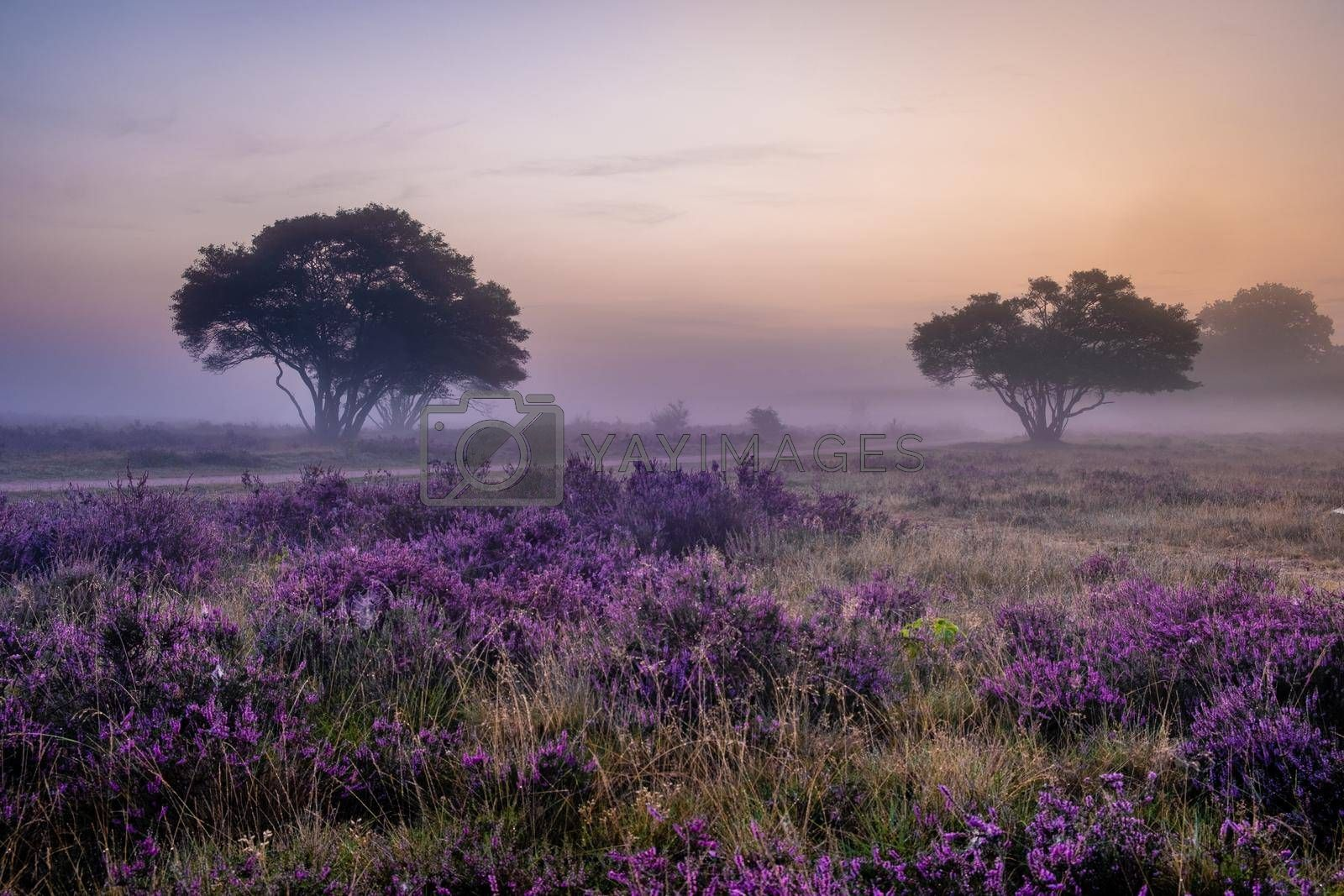 Blooming heather field in the Netherlands near Hilversum Veluwe Zuiderheide, blooming pink purple heather fields in the morniong with mist and fog during sunrise Netherlands Europe