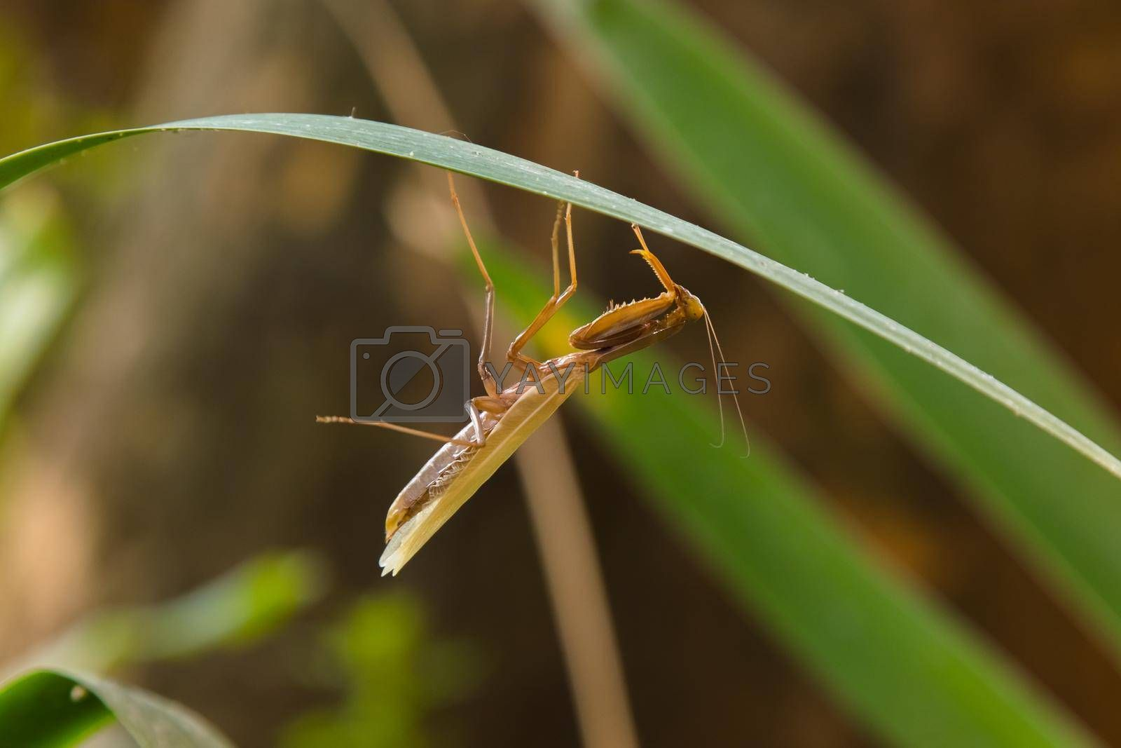 Royalty free image of Praying Mantis takes off old skin layer. by Jannetta