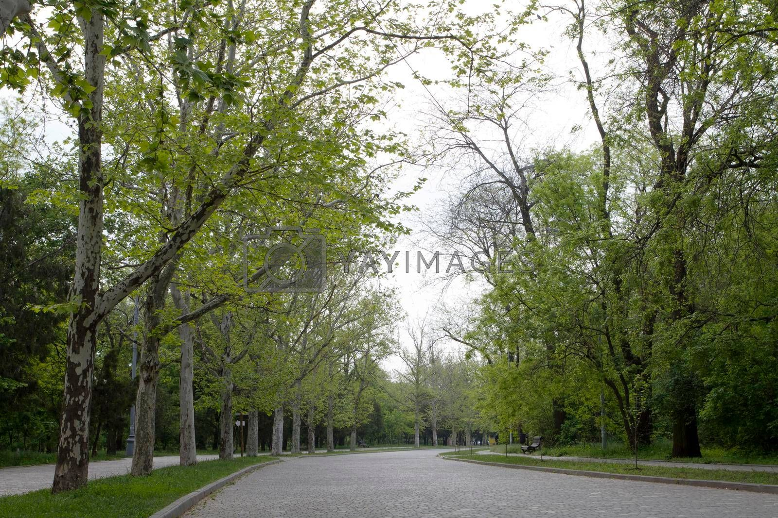 A wide walking alley along grow trees. Cloudy morning in spring in the park. Spring cloudy mood walk in the park.