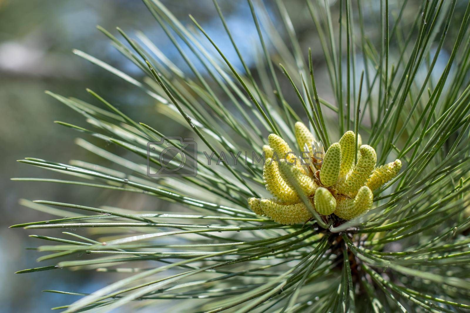 Royalty free image of Flowering pine in the spring, close-up of inflorescence. by Jannetta