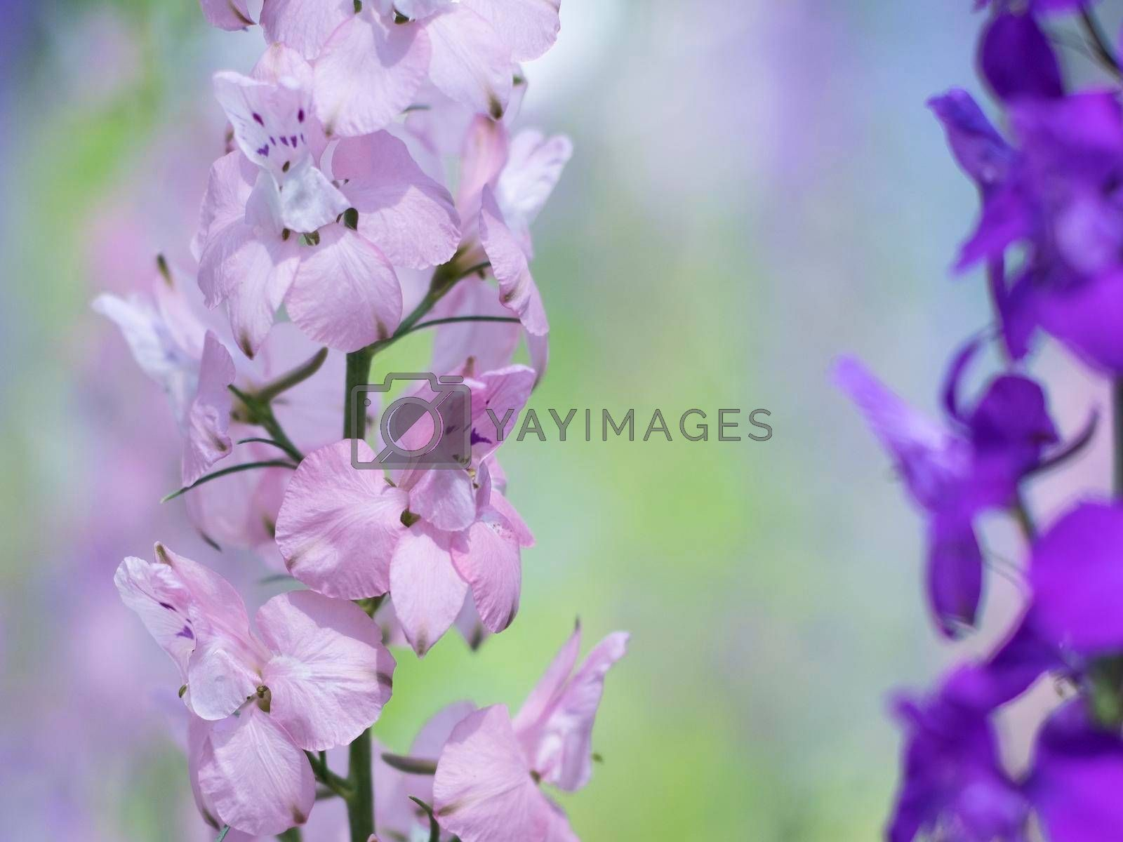 Pink-delicate annual delphinium flowers close-up.