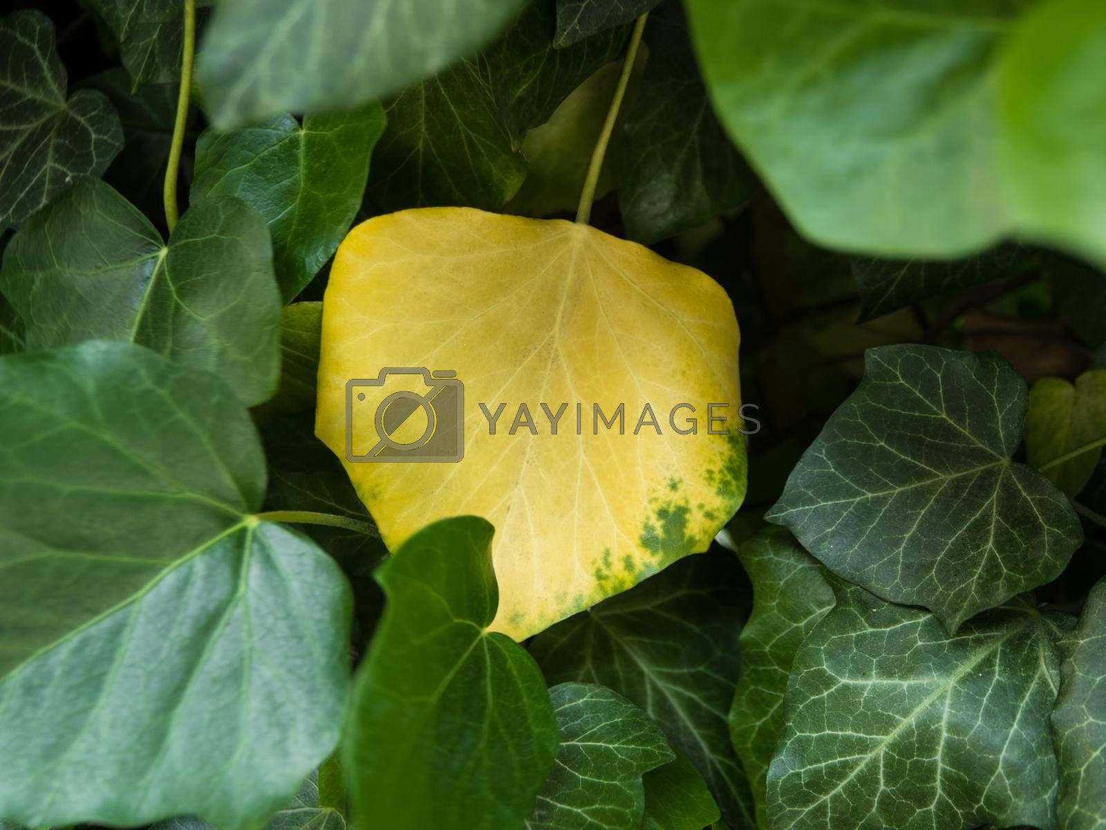 Royalty free image of Yellow leaf among greens. by Jannetta