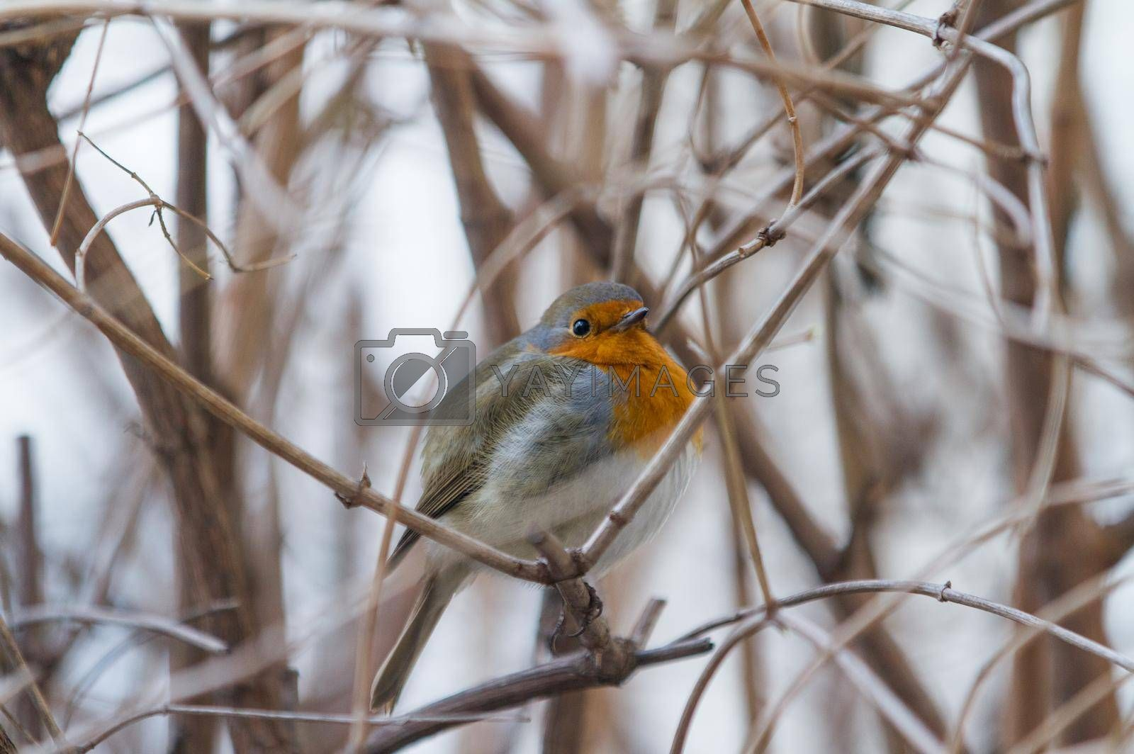 Royalty free image of A bird on branches without leaves. The robin sits on the branches of the bush. The bird hides in the bushes. by Jannetta
