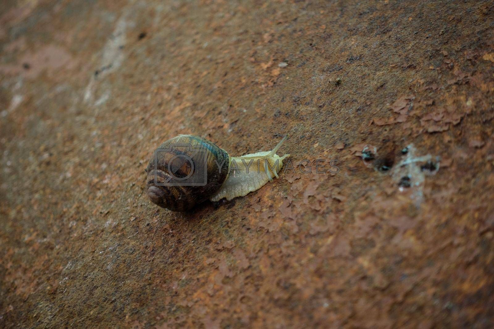 Royalty free image of A snail on rusty metal. by Jannetta