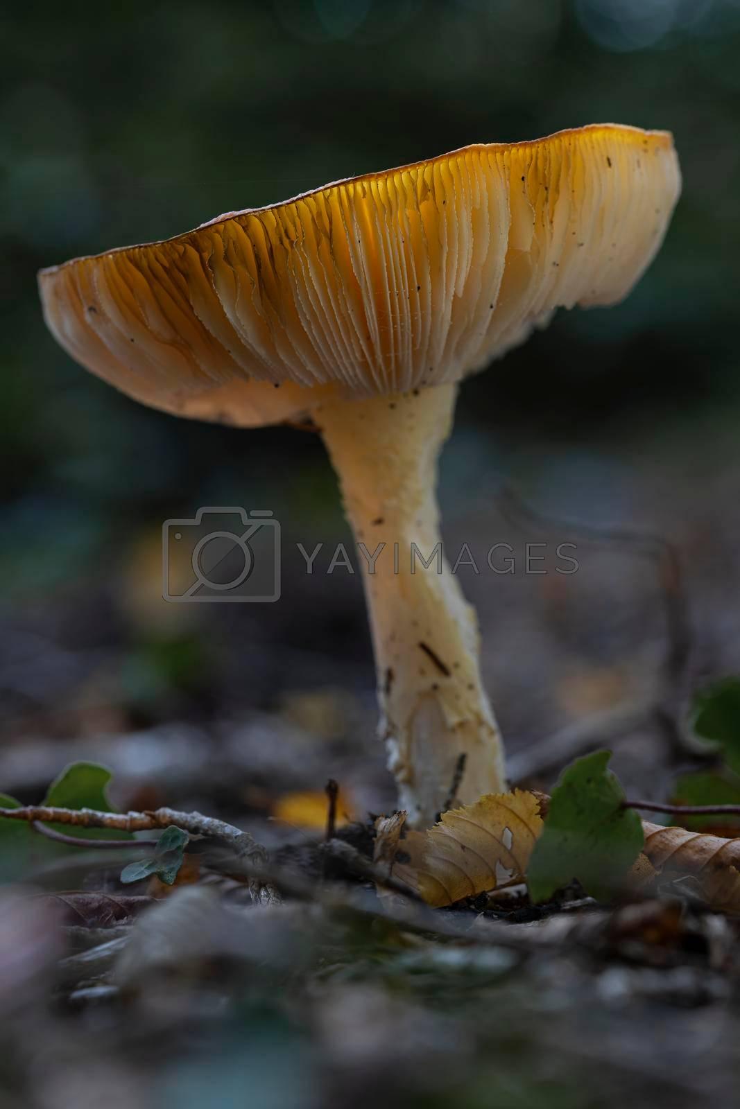 Royalty free image of Mushroom yellow white Russula ochroleuca  by Tofotografie