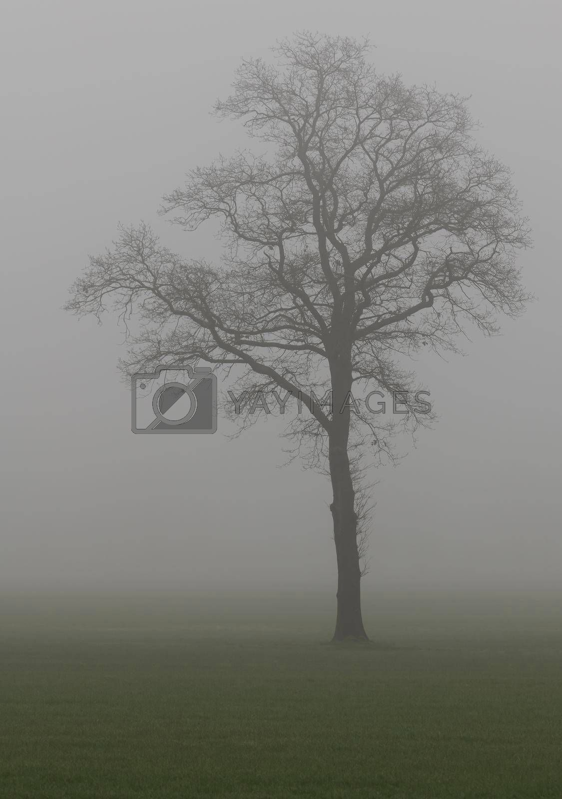 Royalty free image of Tree in the fog  by Tofotografie
