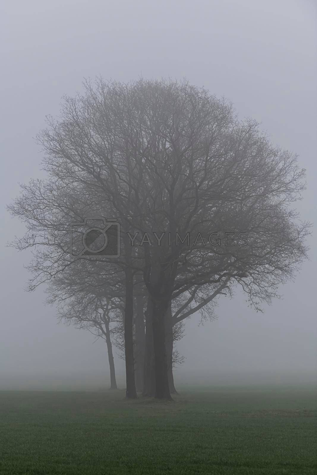 Royalty free image of Trees in the fog  by Tofotografie