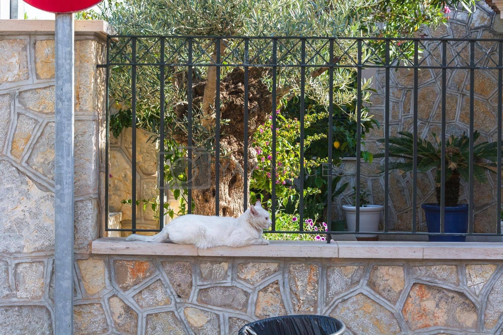 Royalty free image of Weiße Katze liegt auf einer Mauer by JFsPic