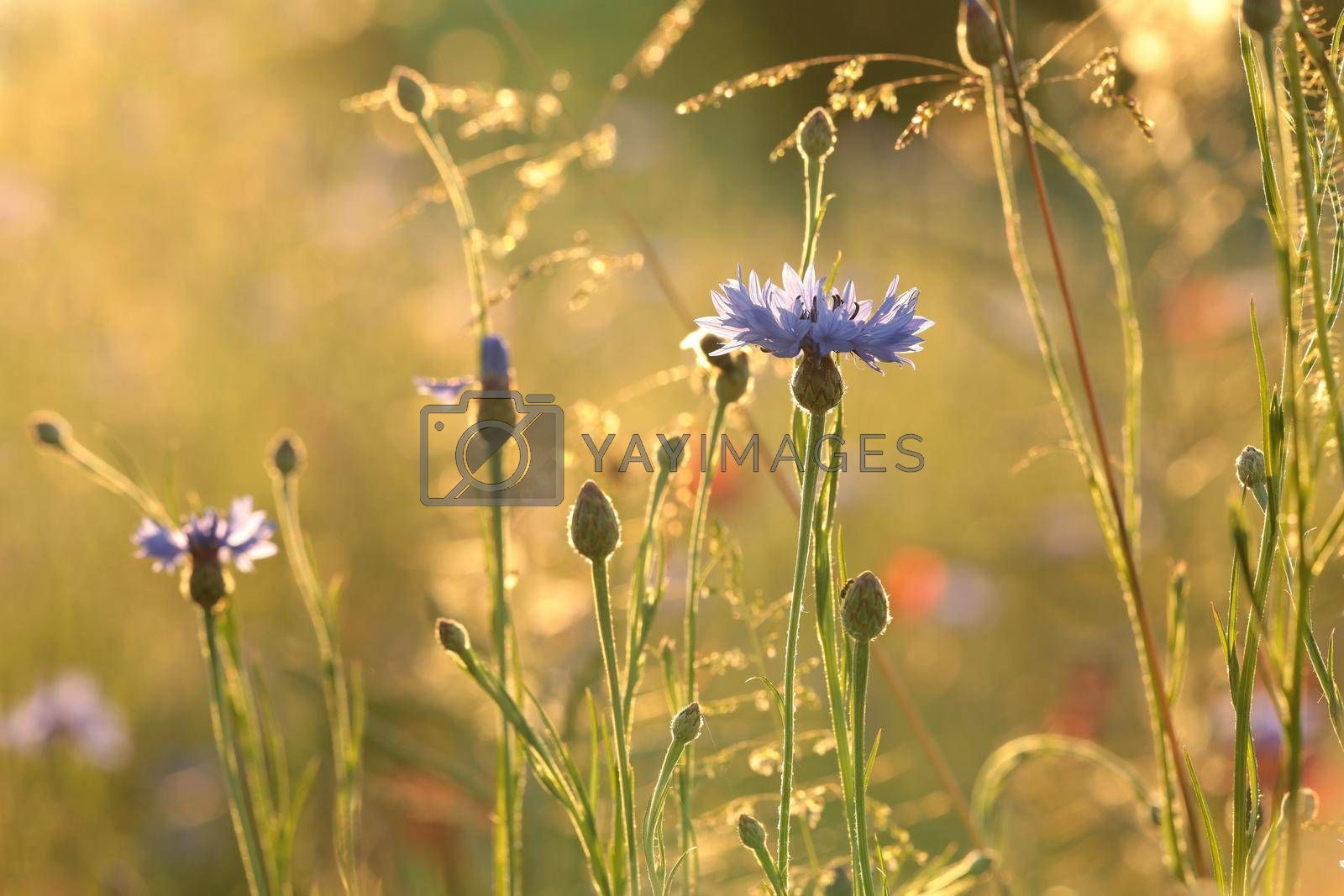 Cornflowers in the field at sunrise.