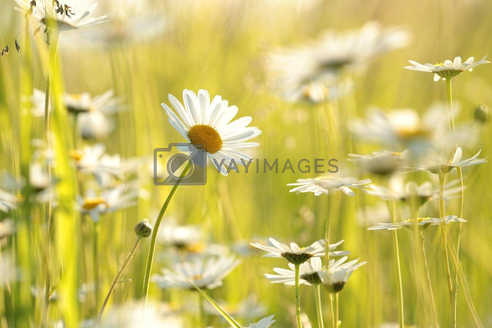 Daisies on a spring meadow at sunrise