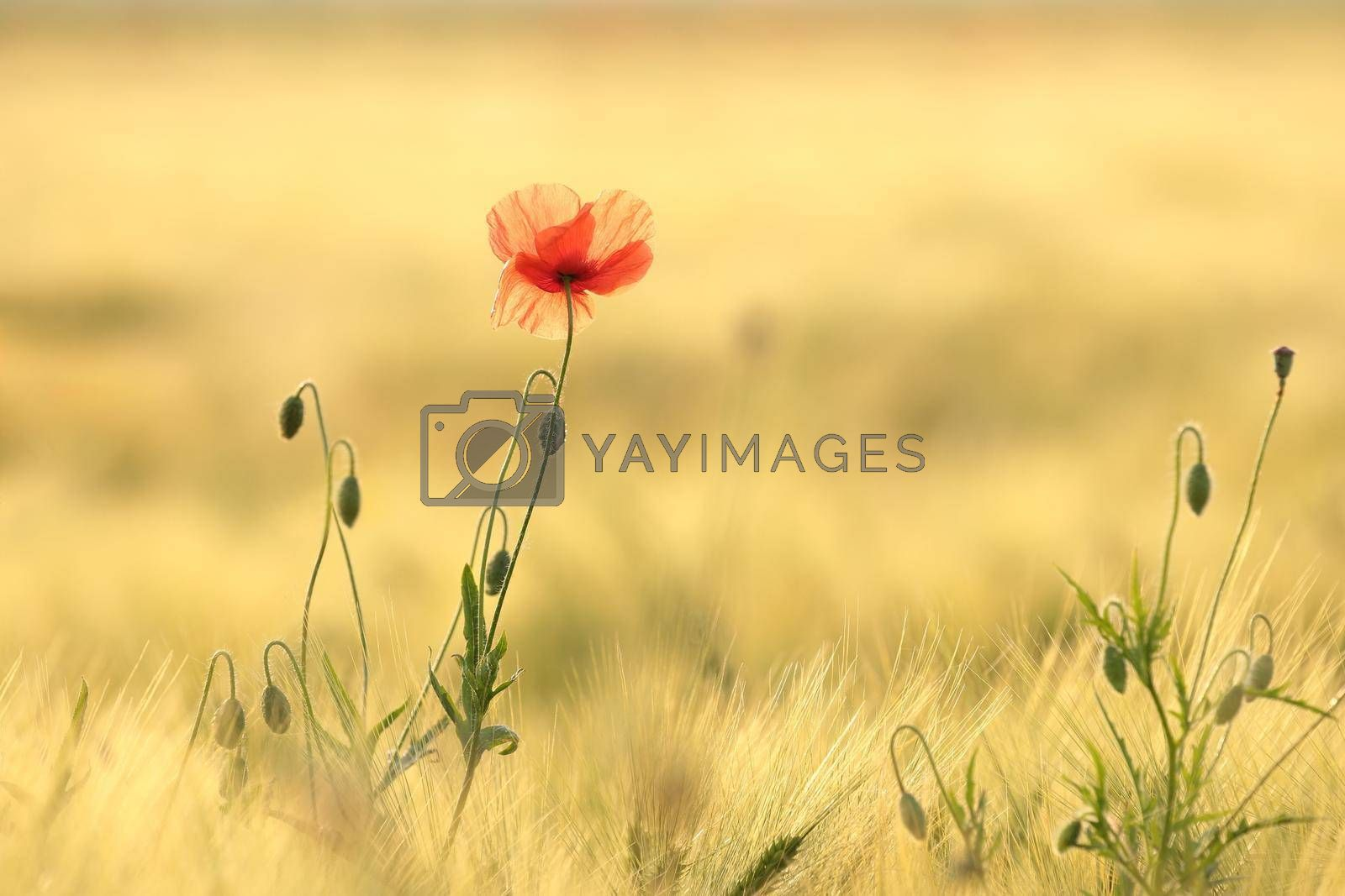 Poppy in the field at sunrise.