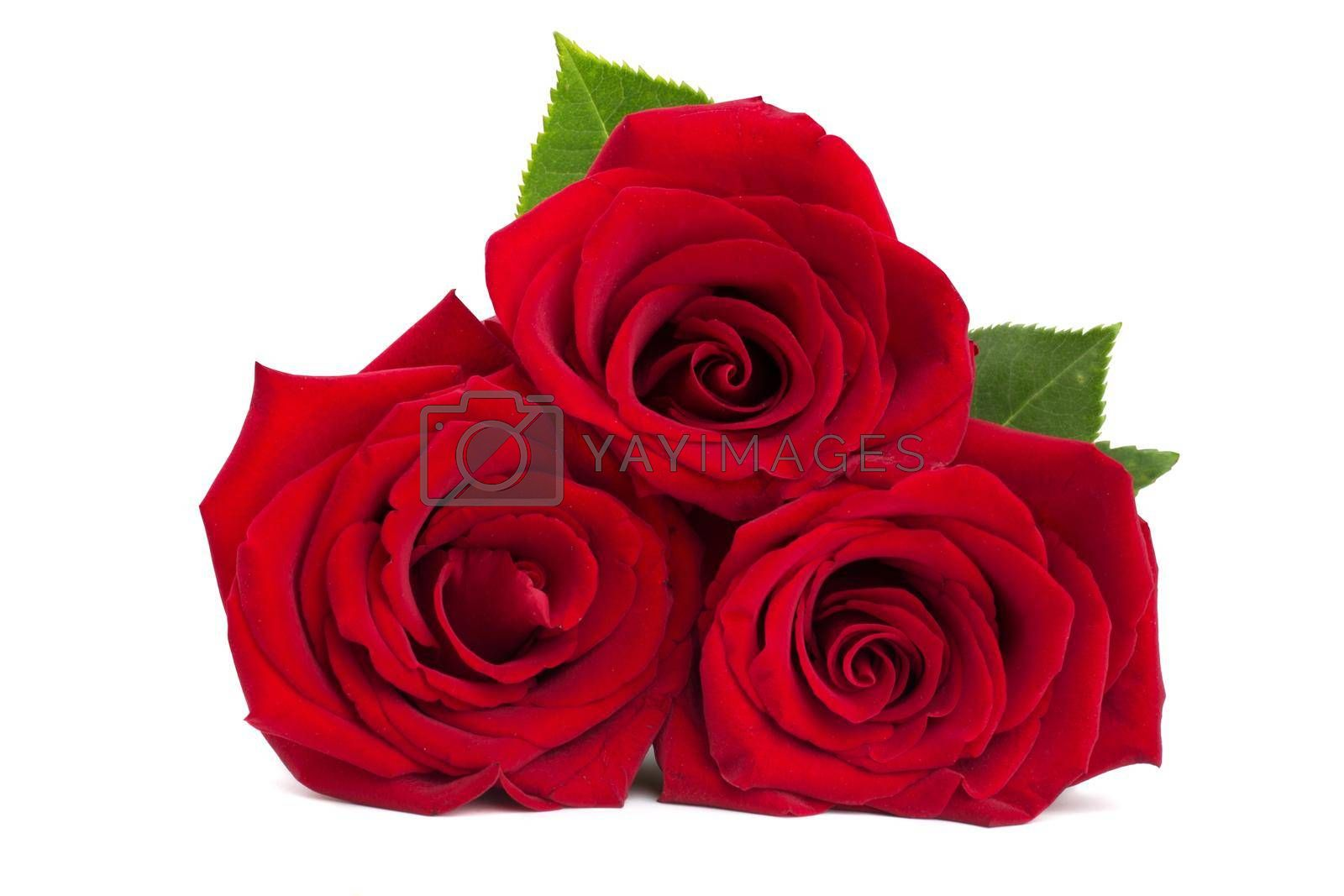 Three red roses isolated on white background, romantic gift for Valentine day