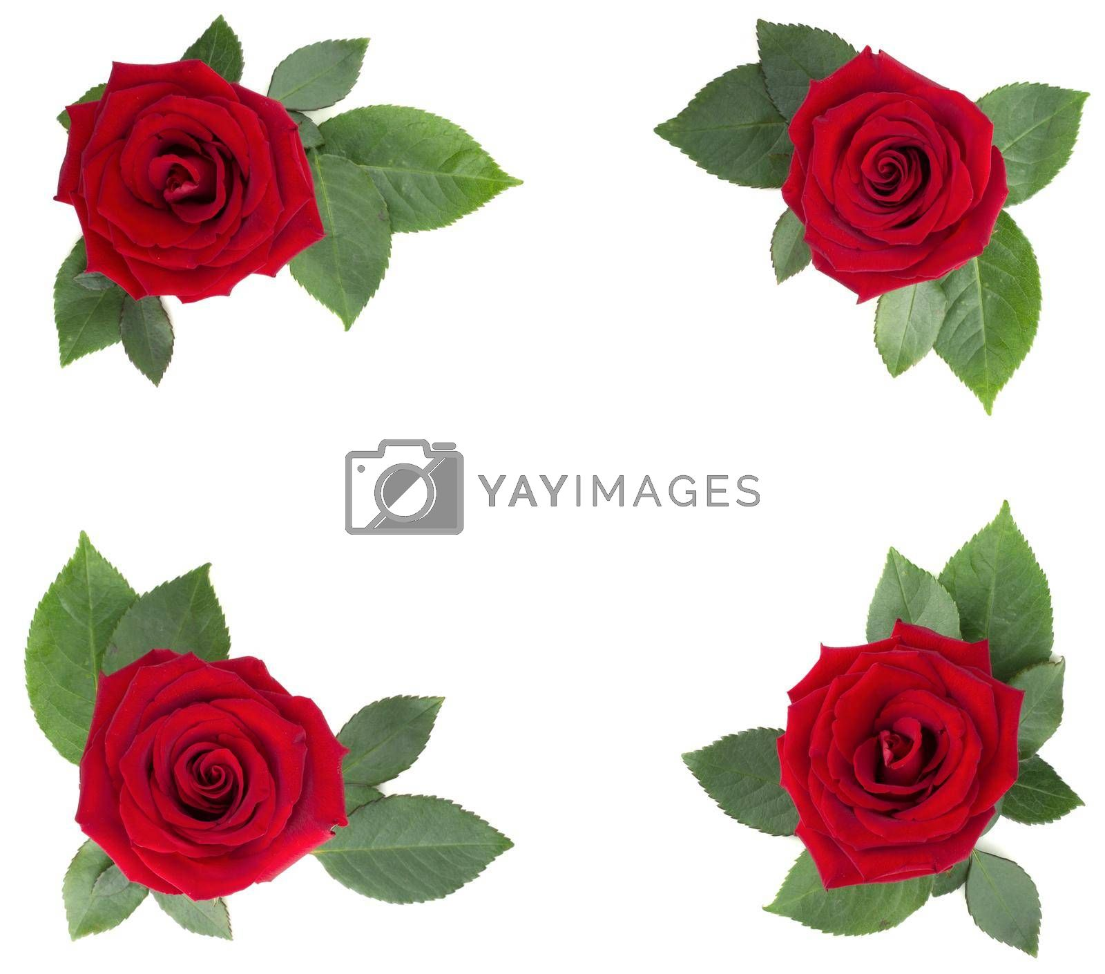 Red rose flowers and leaves arrangement corner border frame design element isolated on white background, top view, Valentines day