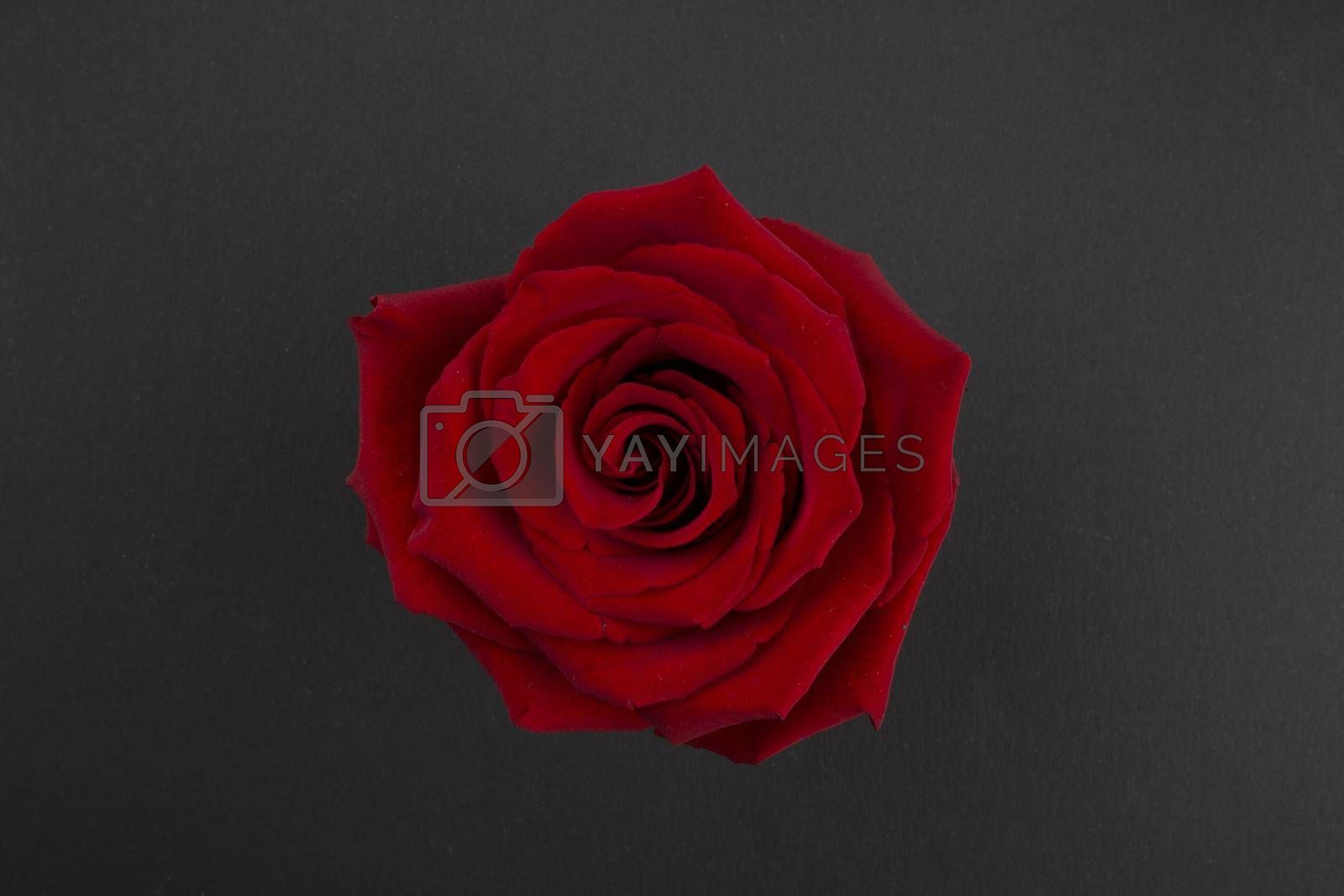 Red rose for St. Valentine's Day. Flowerhead of red rose on black paper background. Top view of a big red rose flower in the center of the photo.