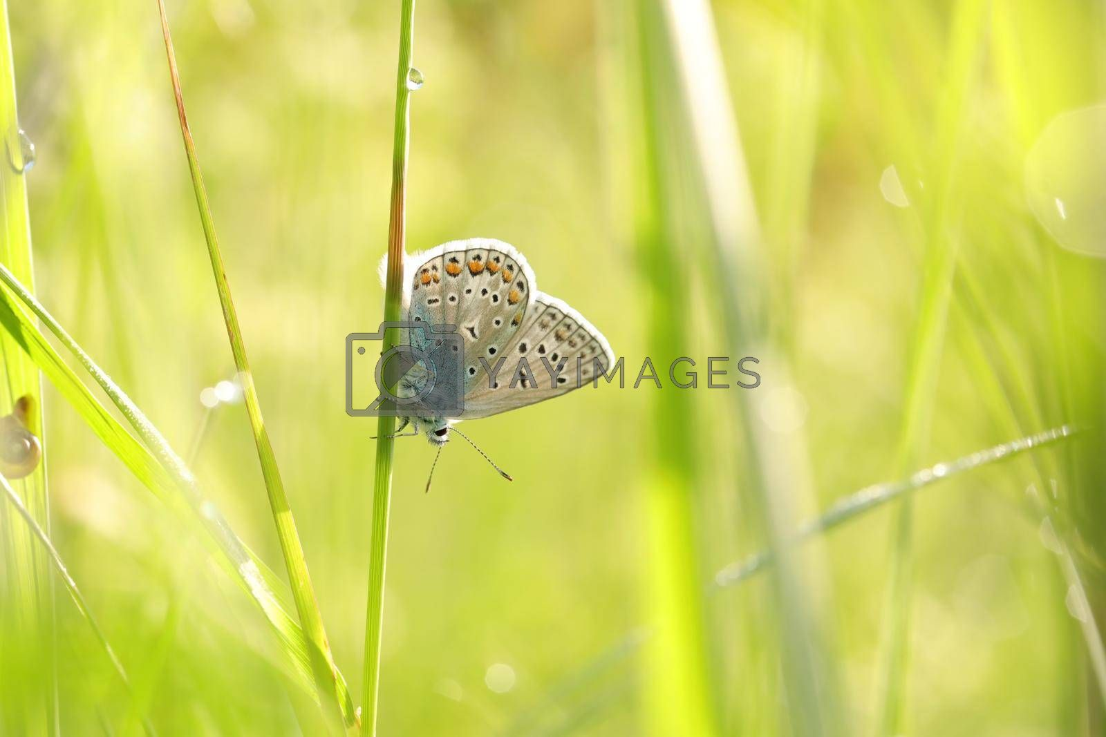 Common Blue Butterfly by nature78